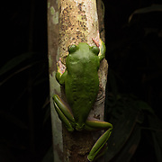 Giant Flying Frog (Rhacophorus maximus) in Kaeng Krachan national park, Thailand