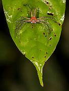 Superbe Fairy Lynx spider (Hamadruas superba) from Deramakot Forest Reserve, Sabah, Borneo.