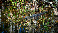 Alligator in the water along the Loop road in Big Cypress National Preserve. Winter Nature in Florida Image taken with a Nikon D4 camera and 80-400 mm VRII telephoto zoom lens