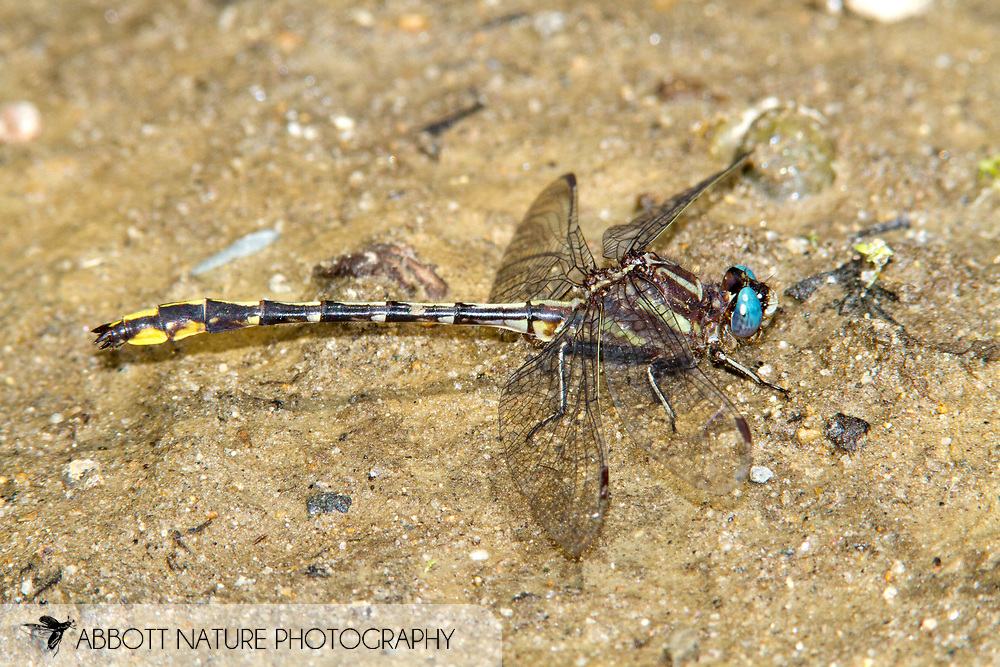 Lancet Clubtail (Phanogomphus exilis) - male<br /> MAINE: Oxford Co.<br /> Androscoggin River @ Green Island off Canton Point Rd. near Peru<br /> 19.June.2010<br /> J.C. Abbott #2443