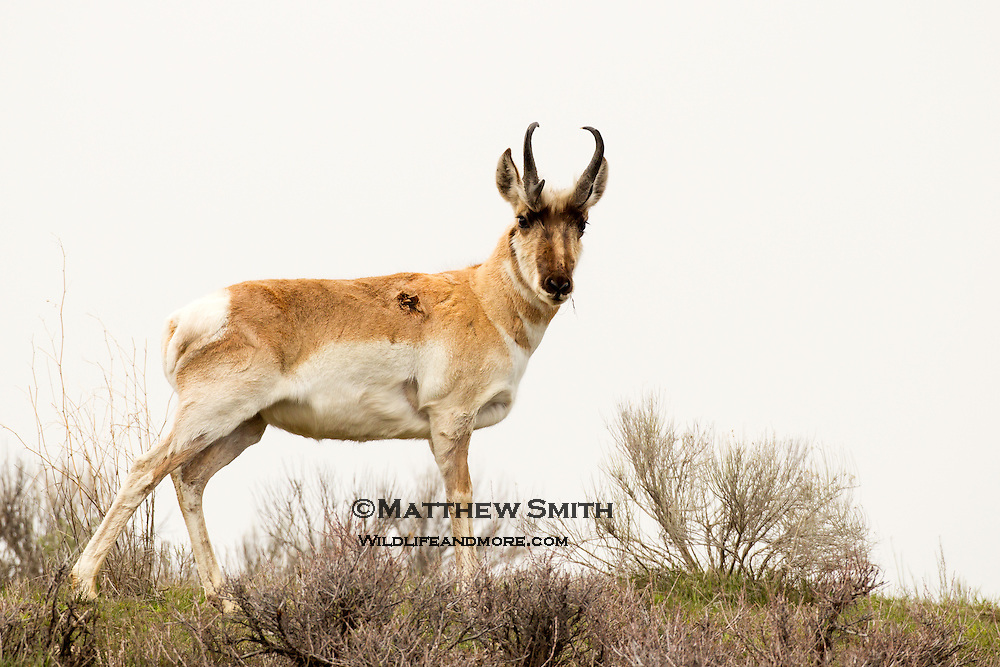 Pronghorn Antelope on a ridge in Grand Teton National Park