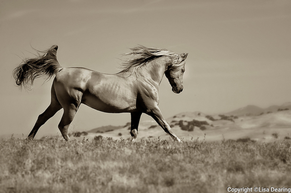 Arabian Horse Running on Hill