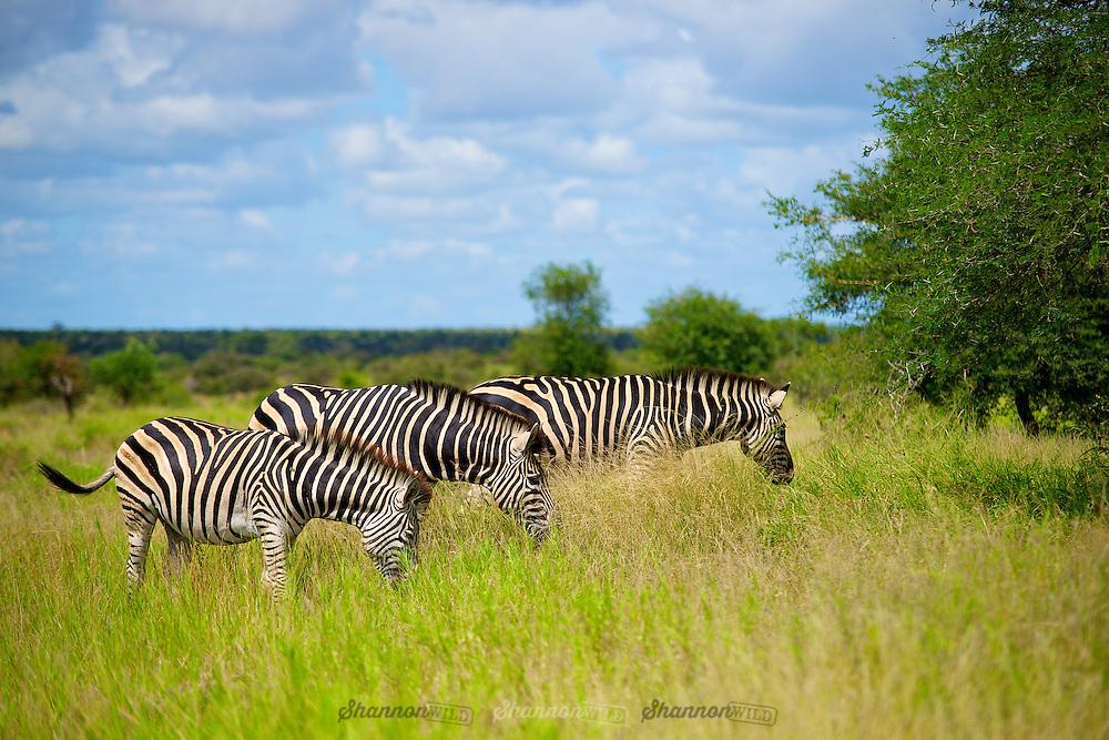 Three Zebra (Equus sp.) Kruger National Park, South Africa