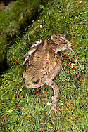 Common Toad Bufo bufo Length 5-9cm A widespread toad; the only common species in Britain. Skin is covered in toxin-containing warts. Spawn is laid in double-rowed spawn strings. Gait consists of short hops. Adult is olive-brown to greenish buff (hue is influenced by ambient light). Has red iris and webbed hind feet. Female is larger than male. Juvenile recalls a tiny, large-headed adult. Courting male utters croaking calls in spring. More terrestrial than most other amphibians and adults spend much of their lives on land:  woodland, scrub, grassland and moors are favoured. Must return to water to breed and most are found within 2km or so of suitable ponds. Not deterred by fish: tadpole' toxic skin acts as deterrent to predation. Observation tips Courting is easy to watch in suitable ponds in spring (February-March are typical months). Sometimes found hibernating under logs in winter.
