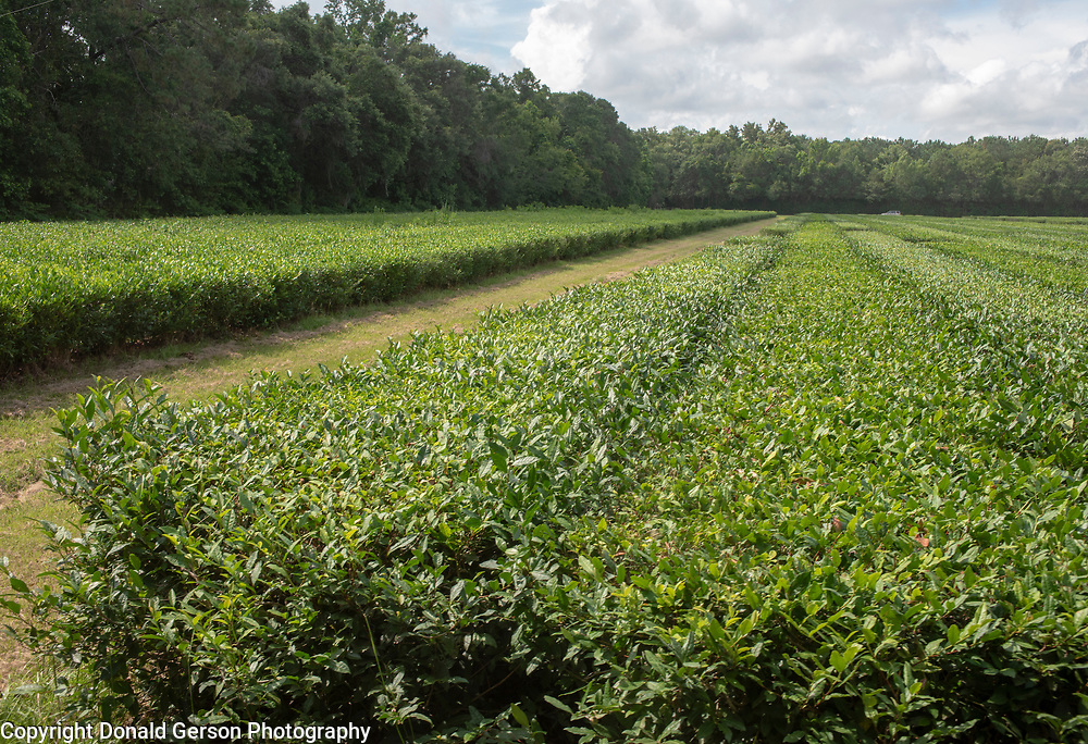 Charleston, SC Tea Plantation