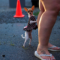 A chihuahu dog named Bella stands and leans on her owner the night before the Remote Area Medical clinic in Wise, Virginia July 19, 2012.  Organizers hope to bring free medical, dental and vision care to more than 3500 uninsured and underinsured people in the rural Virginia area.  REUTERS/Mark Makela   (UNITED STATES)