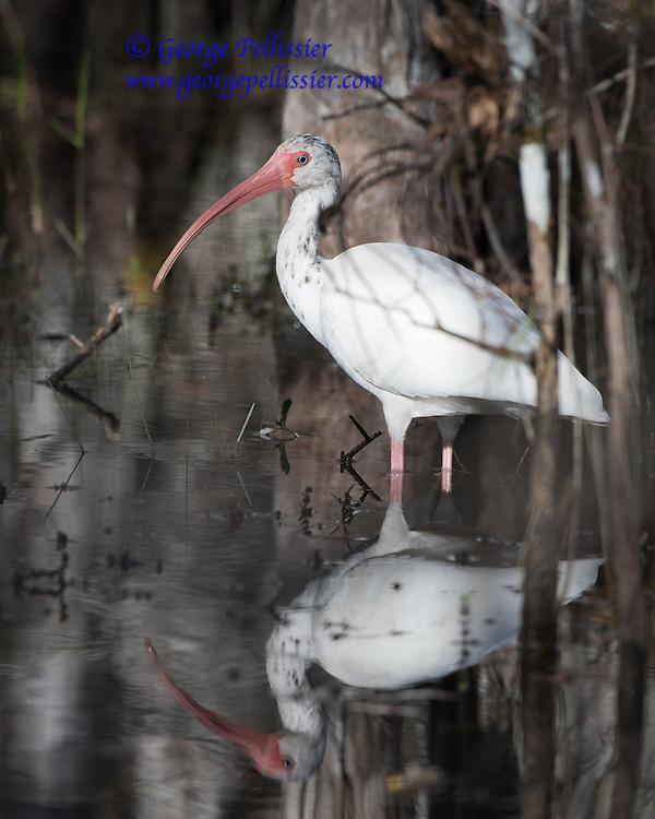An Ibis in Big Cypress Swamp, FL.