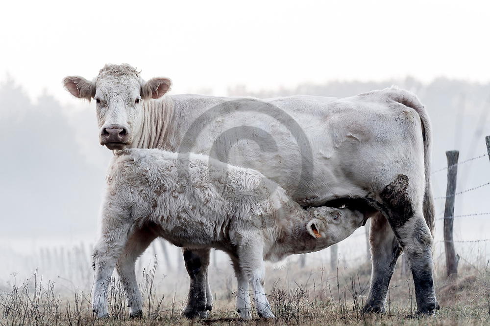 10/10/18 - CREVANT LAVEINE - PUY DE DOME - FRANCE - Elevage de bovins allaitants de race Charolaise - Photo Jerome CHABANNE