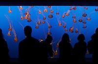 Jellyfish float in a sea of blue at the Monteray Bay Aquarium. California 2008