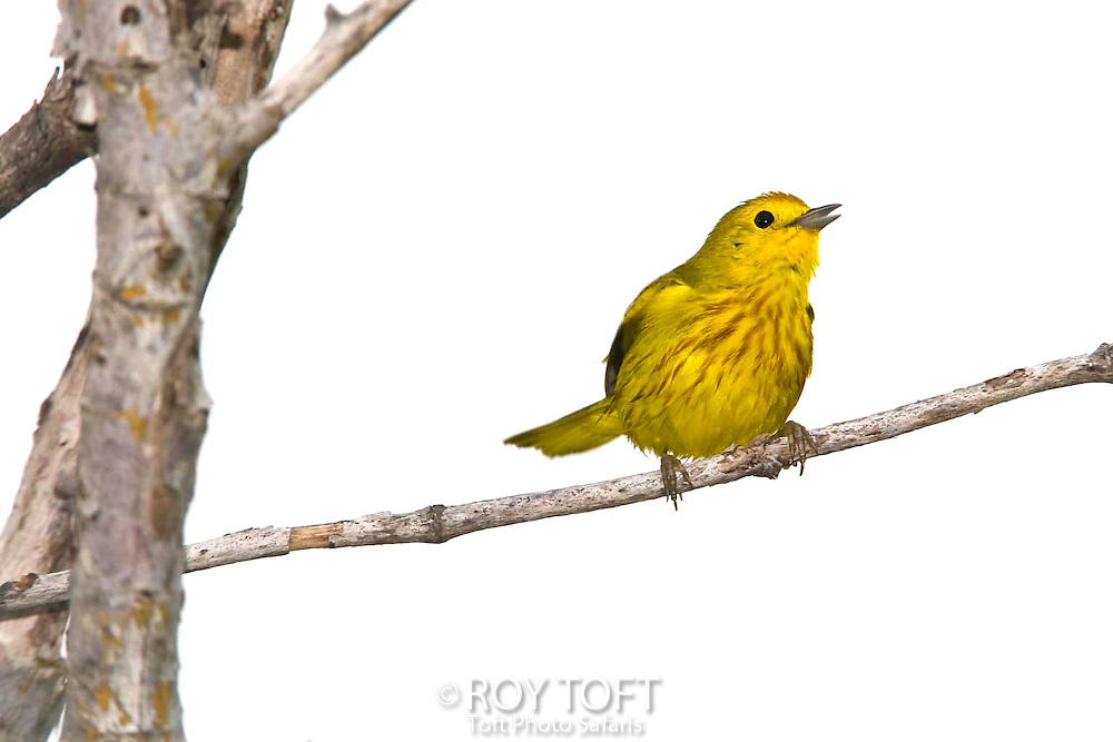 Endemic to Cozumel Mexico, the golden warbler perched on a tree branch
