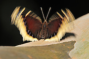 butterfly flapping wings, body is still, right before take off for flight.