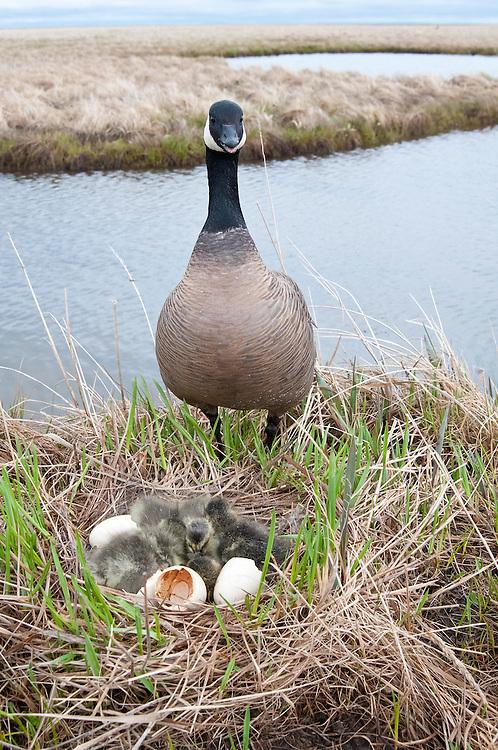 Cackling Goose, Branta hutchinsii, male at nest with goslings, Yukon Delta NWR, Alaska