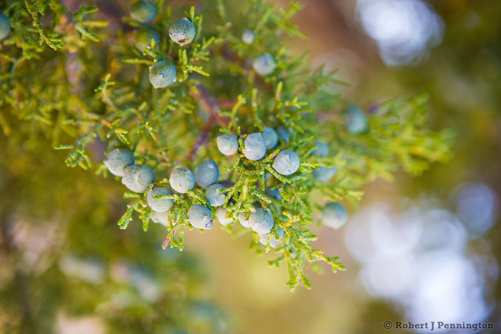 Juniper berries on the tree.