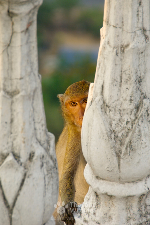 A Macaque peering through the temple ramparts at Wat Khao Tham Talu in Ratchaburi province, Thailand