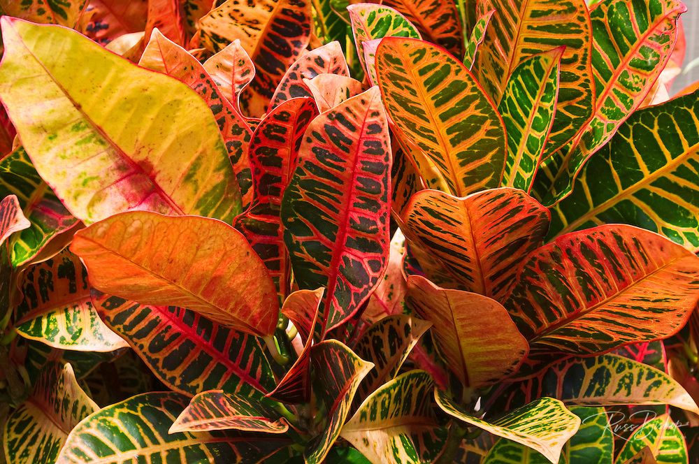 Tropical foliage, Island of Kauai, Hawaii