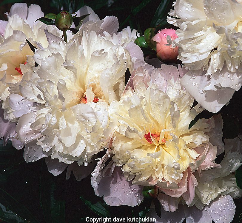white pink peonies no property release