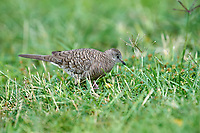 Inca Dove (Columbina inca) foraging in grass, Jocotopec, Jalisco, Mexico