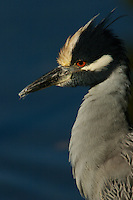 Portrait of a yellow-crowned night heron (Nyctanassa violacea)..Sanibel Island, Florida, USA.