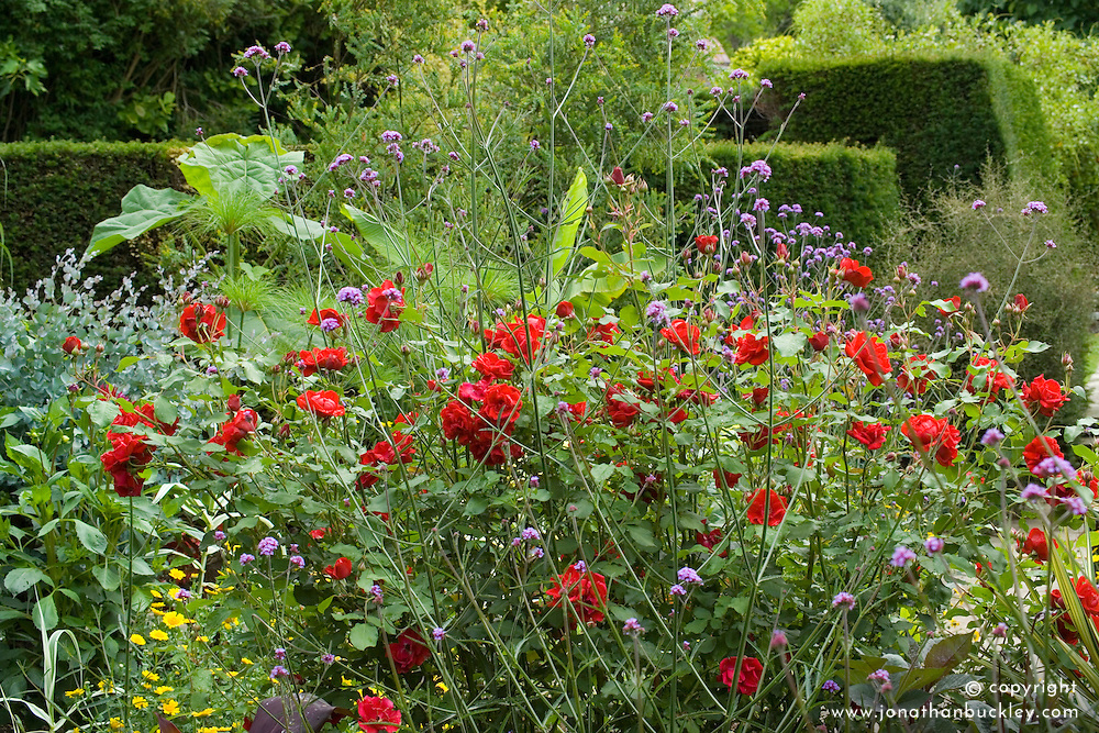 Rosa 'Florence Mary Morse' with Verbena bonariensis in the exotic garden at Great Dixter