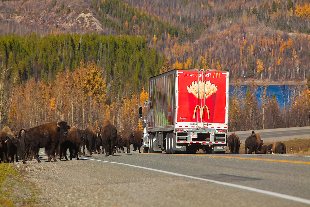 "A herd of Buffalo stampede across the Alcan Highway, stopping a speeding McDonalds truck in it's tracks. The truck nearly struck the herd, before coming to a hastened stop. The back panel of the truck reads ""Are we there yet?"""