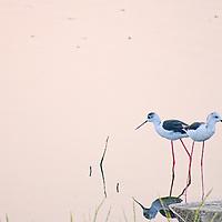 Birds feedin at the shore of Man Sagar Lake
