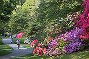 United States, Washington. Seattle, Arboretum, rhododendrons in bloom, jogger