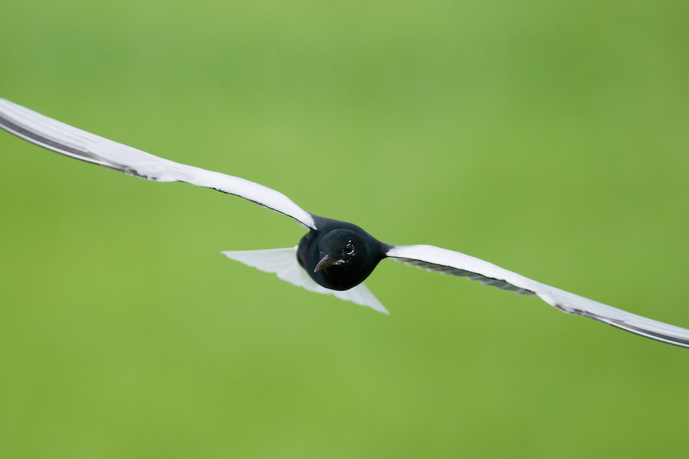 White-winged Black Tern (Chlidonias Leucopterus) in flight at Prypiat river, Belarus