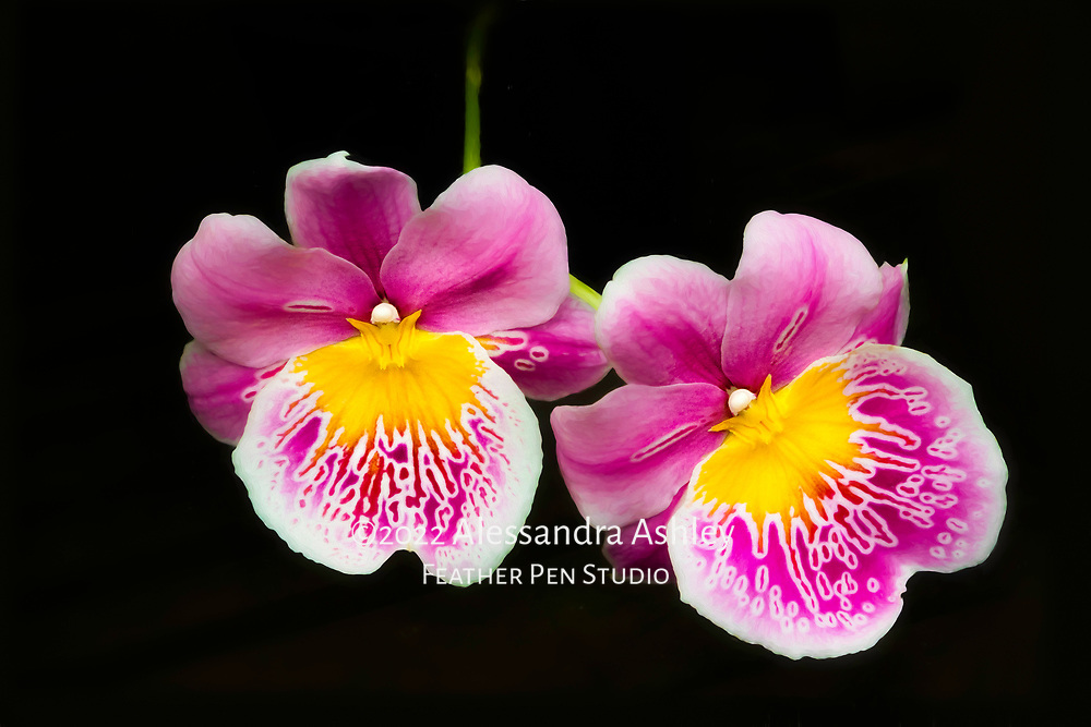 Bright and cheery pansy orchids (Miltonia), dark background. Oil paint effects blended with original photograph.
