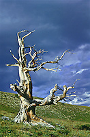 This dead Bristlecone resists decay due to the high concentration of resin canals.  Windy Ridge, Colorado.