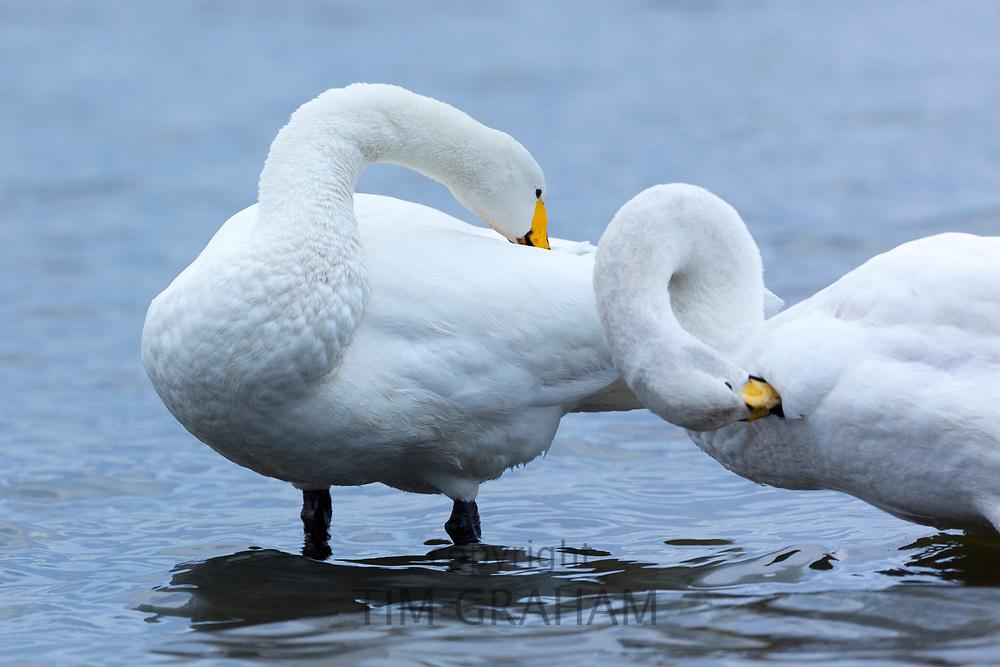 Pair of Whooper Swan, Cygnus cygnus, preening their feathers  and grooming at Welney Wetland Centre, Norfolk, UK