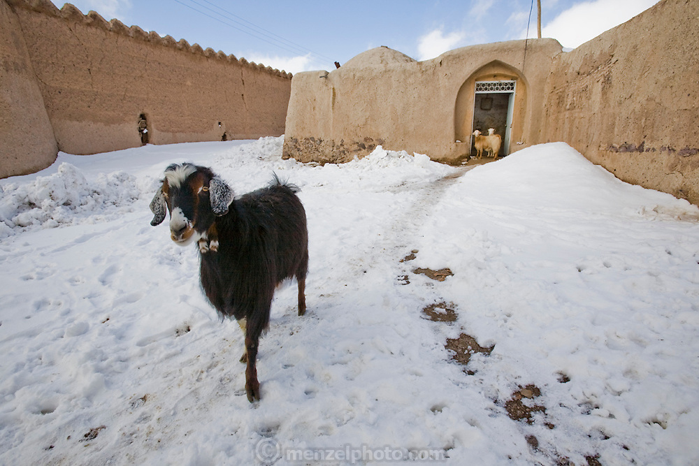 A goat ventures into the recent snowfall from his owner's home in Ghayoumabad village, near the highway between Yazd and Esfahan, central Iran.