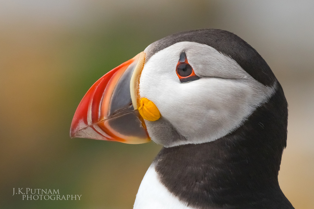 A close up profile of the iconic Atlantic puffin (Fratercula arctica) on Machias Seal Island in the Gulf of Maine.