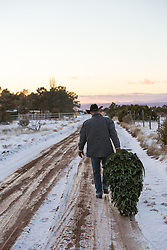 cowboy dragging a freshly cut tree on a snowy dirt road