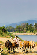 09 MARCH 2013 - ALONG HIGHWAY 13, LAOS:  A woman drives her cows along the bank of the Nam Song River in Vang Vieng just a few hundred meters from Highway 13. The paving of Highway 13 from Vientiane to near the Chinese border has changed the way of life in rural Laos. Villagers near Luang Prabang used to have to take unreliable boats that took three hours round trip to get from the homes to the tourist center of Luang Prabang, now they take a 40 minute round trip bus ride. North of Luang Prabang, paving the highway has been an opportunity for China to use Laos as a transshipping point. Chinese merchandise now goes through Laos to Thailand where it's put on Thai trains and taken to the deep water port east of Bangkok. The Chinese have also expanded their economic empire into Laos. Chinese hotels and businesses are common in northern Laos and in some cities, like Oudomxay, are now up to 40% percent. As the roads are paved, more people move away from their traditional homes in the mountains of Laos and crowd the side of the road living off tourists' and truck drivers.    PHOTO BY JACK KURTZ
