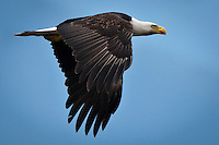 Bald Eagle (Haliaeetus leucocephalus) (Halietus leucocephalus) flies over Hood Canal in Puget Sound Washington, USA