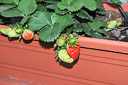Home grown strawberry patch in a garden. Photographed in Israel in April