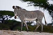 Grevy's Zebra, Equus grevyi, from Samburu National Reserve, Kenya.