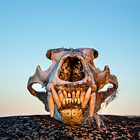 Canada, Nunavut Territory, Vansittart Island, Setting midnight sun lights skull of Polar Bear (Ursus maritimus) along Frozen Strait along Hudson Bay
