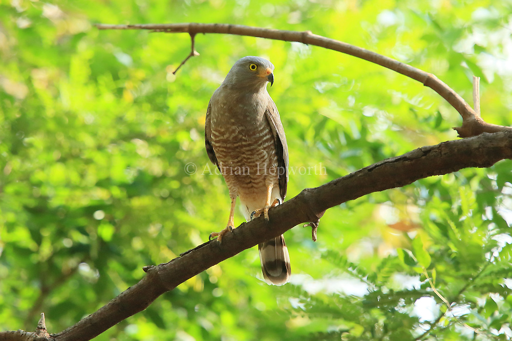 Roadside hawk (Buteo nitidus) in tropical dry forest. Palo Verde National Park, Guanacaste, Costa Rica.