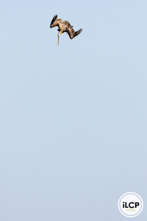 Brown Pelican (Pelecanus occidentalis) plunge diving, Santa Cruz, Monterey Bay, California
