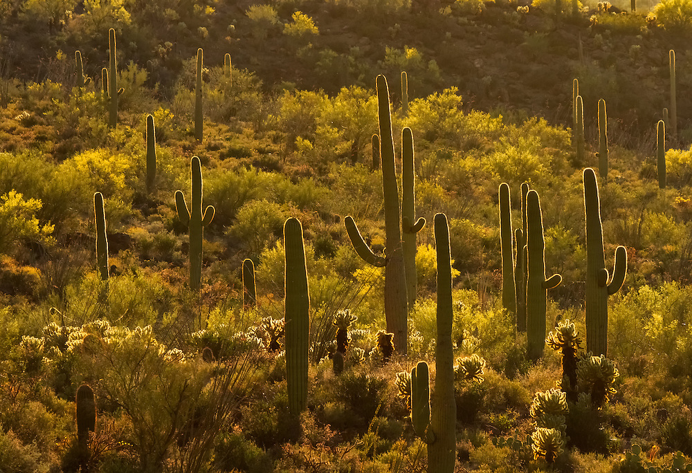 saguaro cactus (Carnegiea gigantea), Gates Pass and the Tucson Mountains at sunset, Arizona.