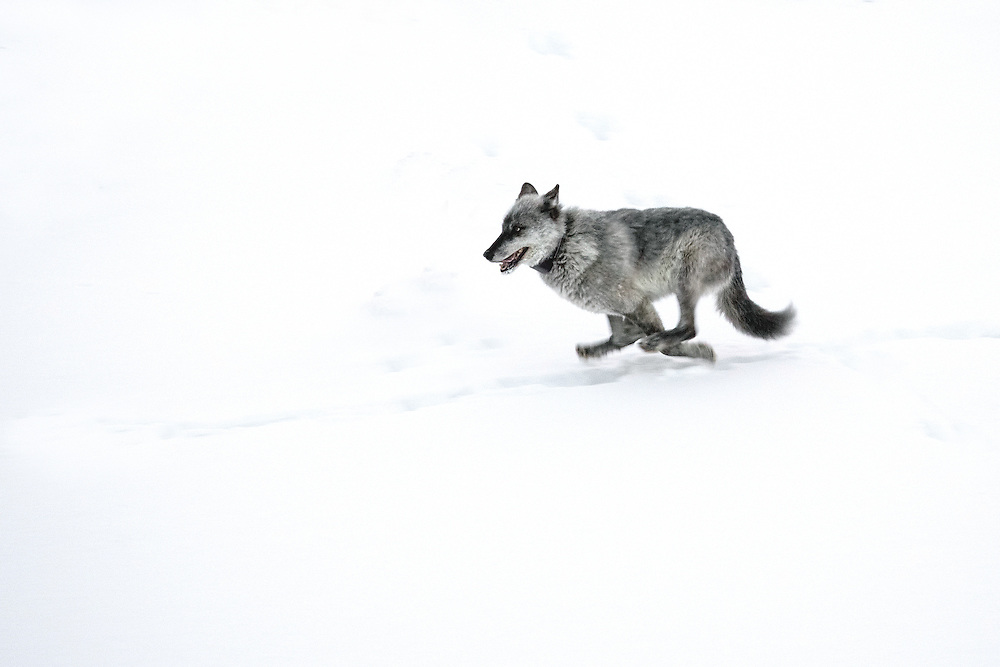 755M, the former alpha male of the Lamar Canyon Pack, flees from members of the Junction Butte Pack who pursued him after he approached their alpha female too closely.