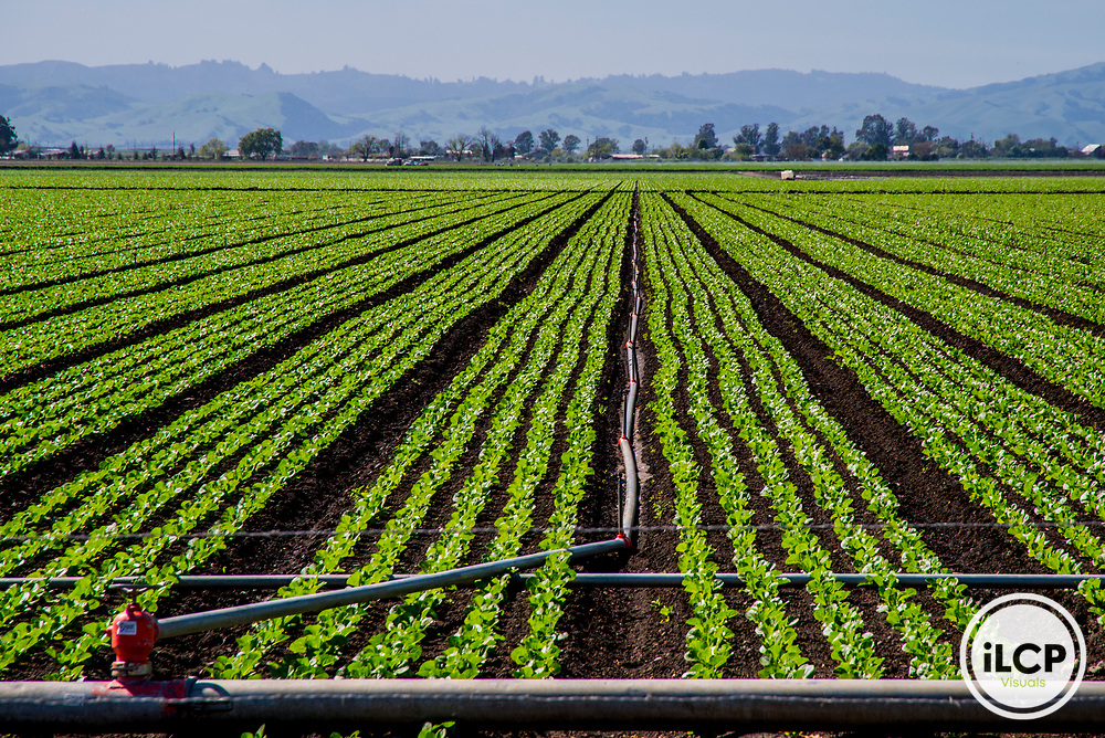 USA: California, No Water No Life, CA Drought Expedition 4, Hollister, Lettuce field with precision drip irrigation