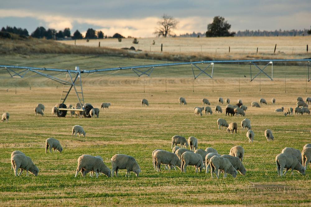 Flock of sheep grazing in rural pasture near Alturas, Modoc County, California