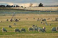 Flock of sheep grazing in rural pasture near Alturas, Modoc County, California