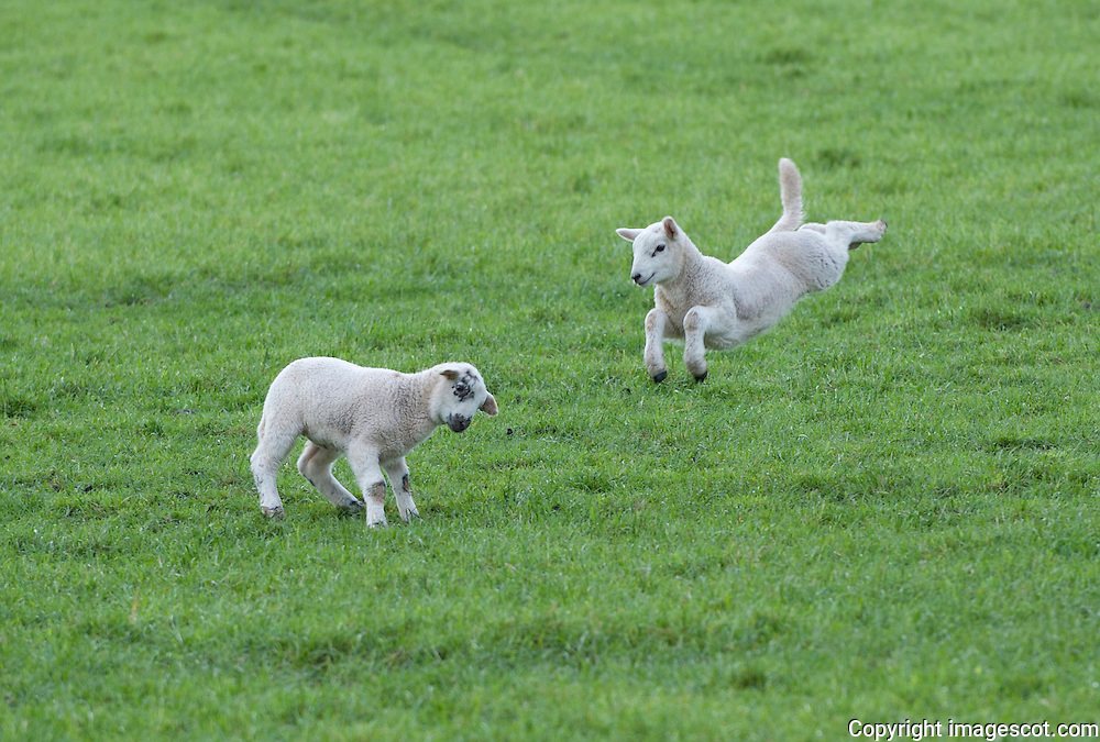 Spring lambs playing