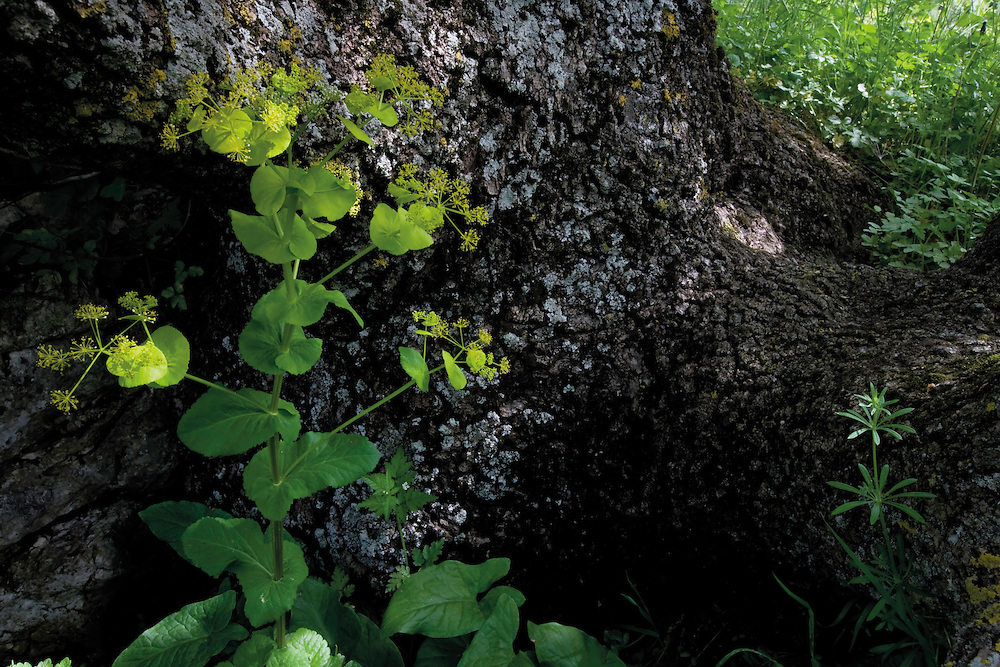 Perfoliate Alexanders (Smyrnium perfoliatum) and a pedunculate oak (Quercus robur). Northern part of Livansko Polje -  karst plateau: arguably the largest karst field in the world. Ramsar site. Bastasi area. May 2009. Bosnia-Herzegovina.<br /> Elio della Ferrera / Wild Wonders of Europe