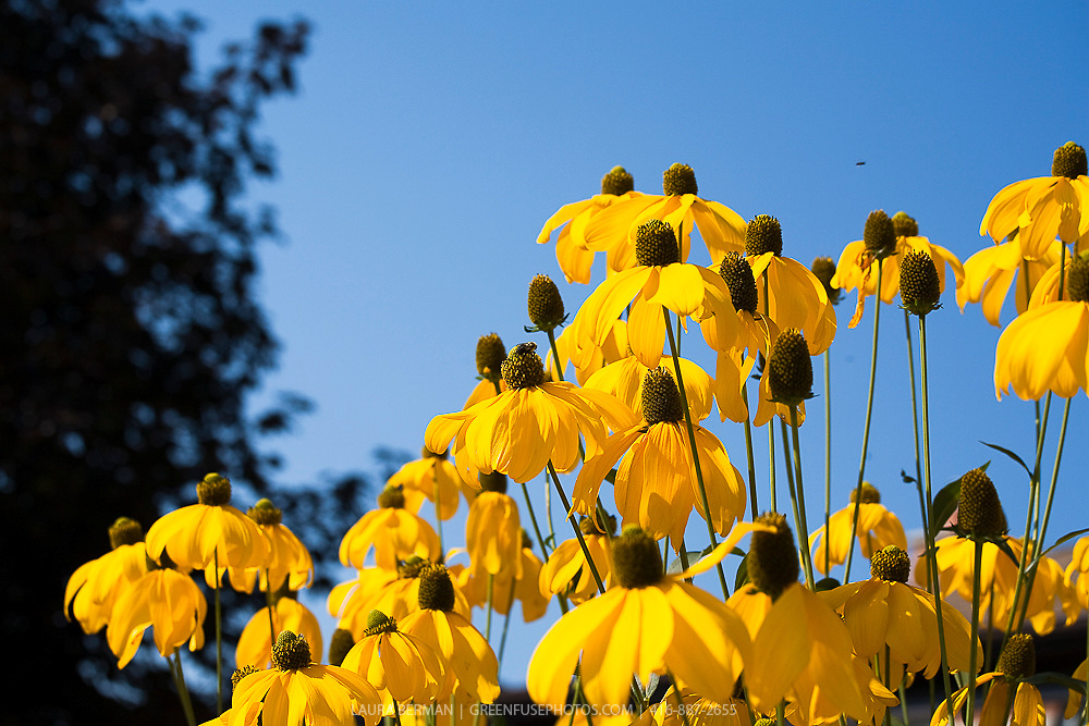 The yellow flowers of Cutleaf Coneflower against a bright blue sky. (Rudbeckia laciniata 'Herbstsonne').