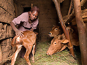 Elfnesh Finta, 35, sees to the new calf on her farm in, Boreda, Ethiopia.