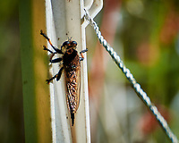 Robber Fly. Image taken with a Nikon N1V3 camera and 70-300 mm VR lens